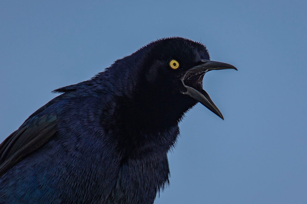 Great-tailed Grackle