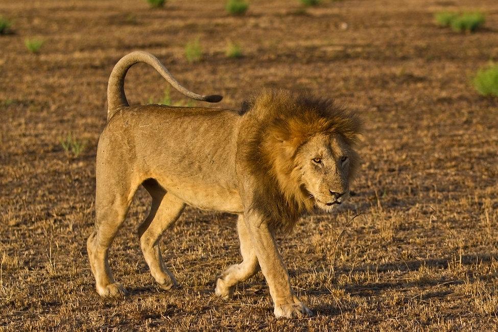 Lion on the Serengeti