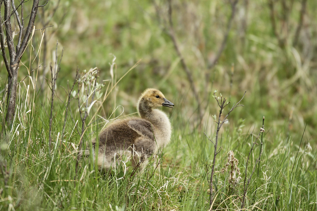 Canada Gosling Growing Fast