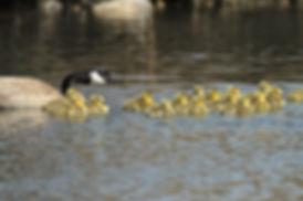 Canada Goose Big Family