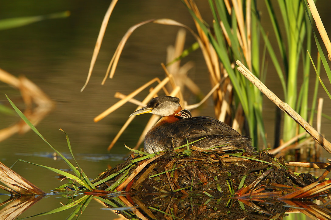 Red-necked Grebe Baby & Mom