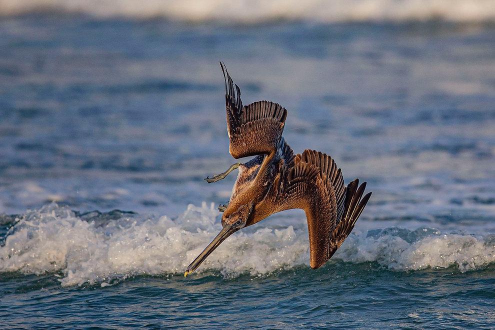 Brown Pelican Fishing