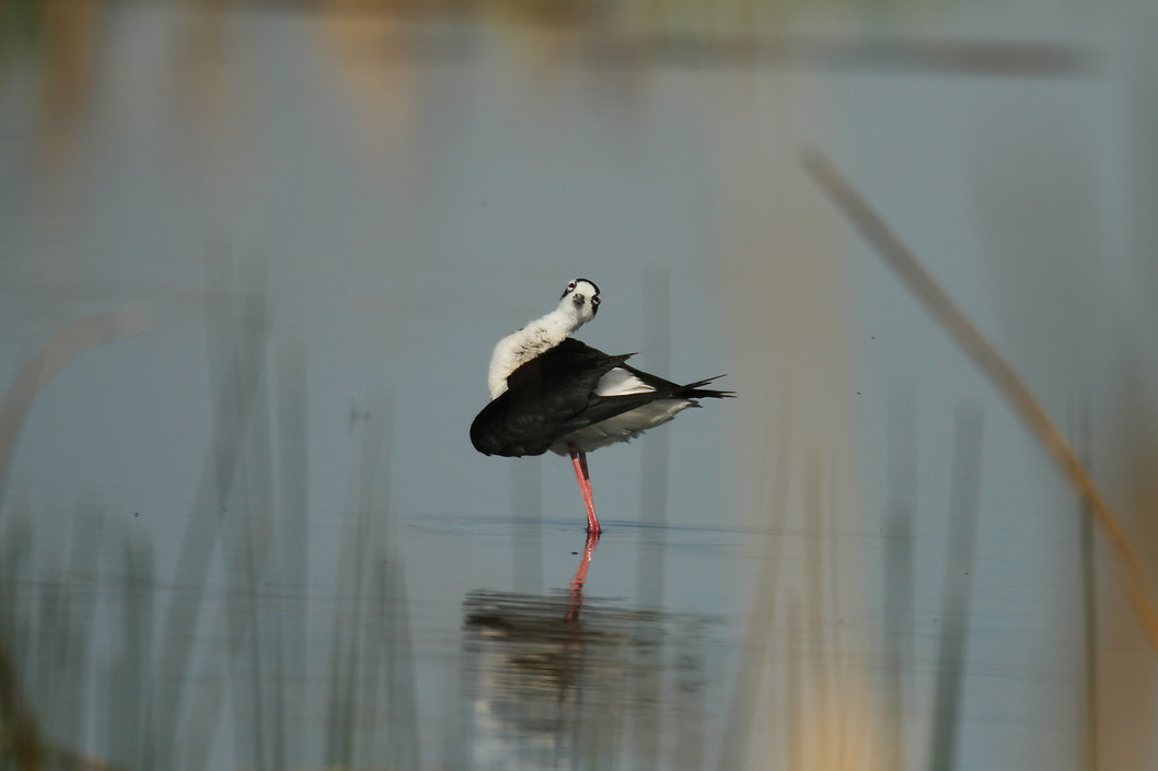 Black-necked Stilt Ballerina