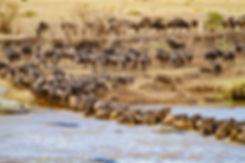Wildebeast Crossing the Mara
