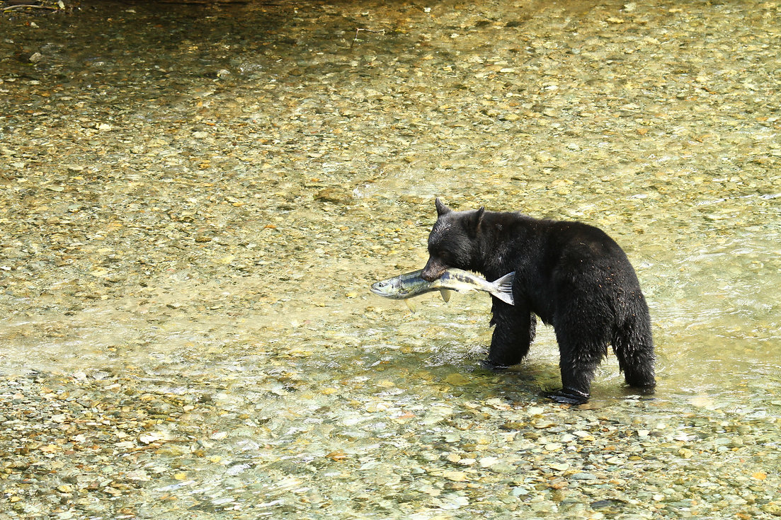 Black Bear, Fishing