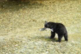 Black Bear, Fishing
