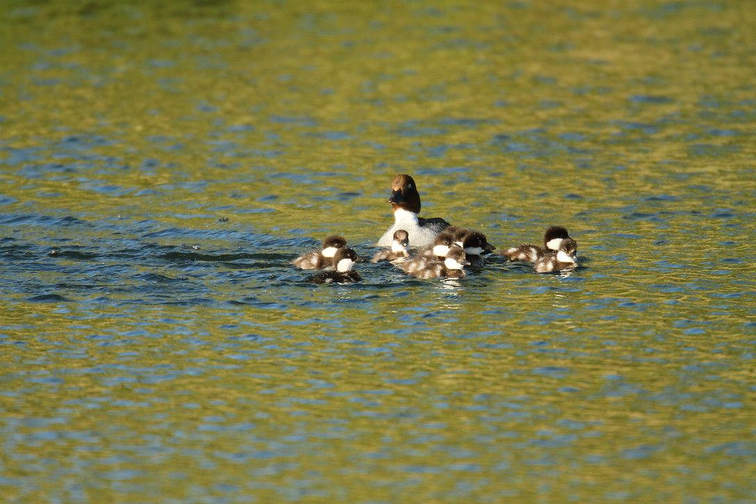 Goldeneye Duck Babies