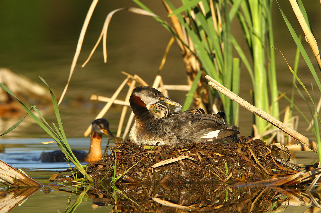 Grebes and babies