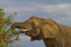 Elephant salad bar