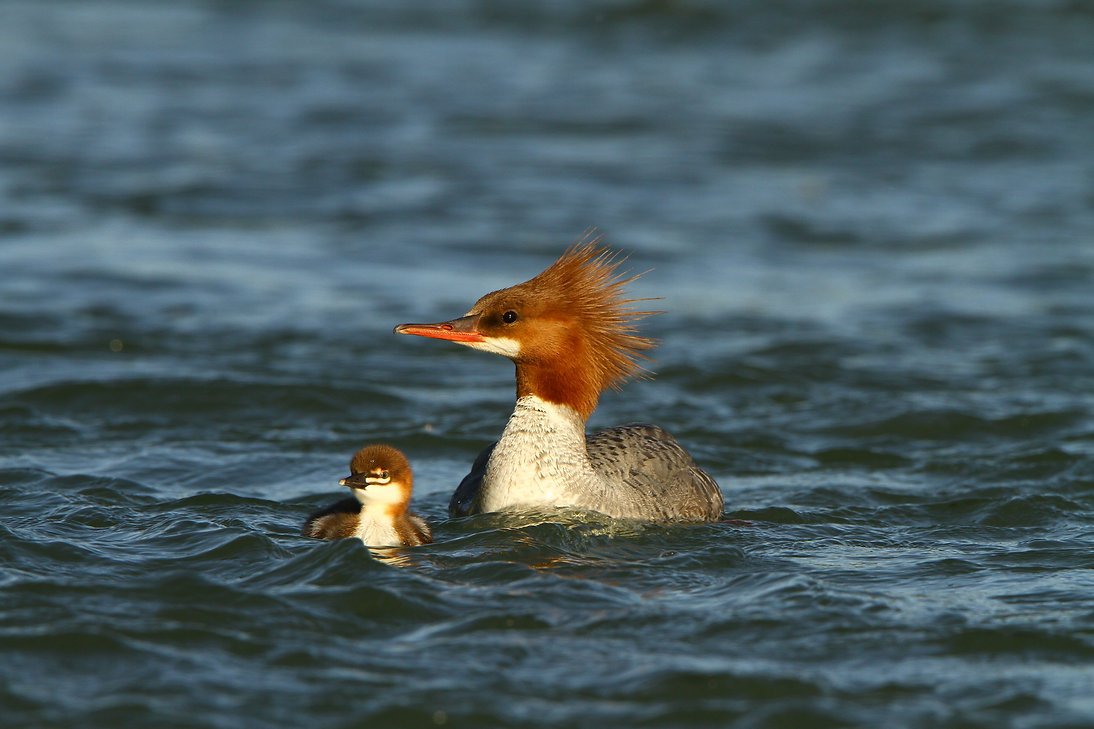 Common Merganser an Chick
