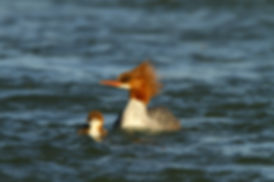 Common Merganser an Chick