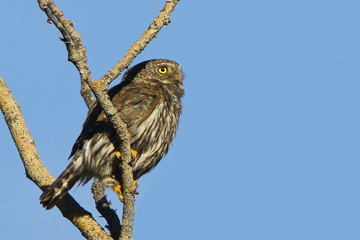 Northen Pygmy Owl