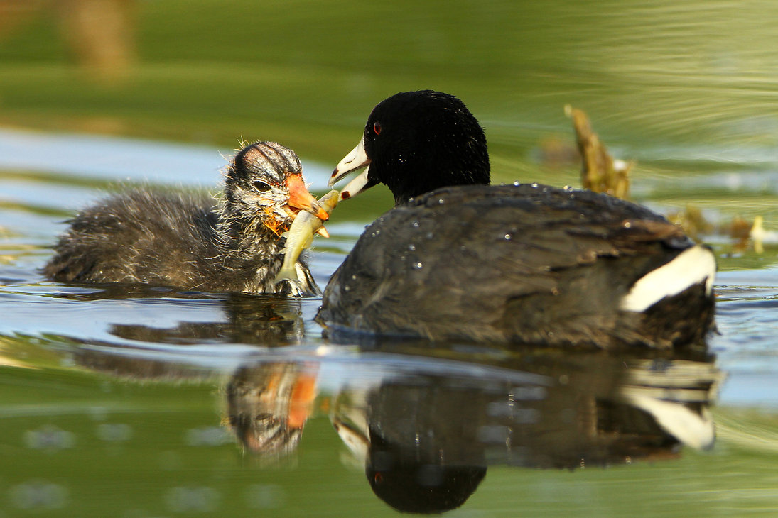 Coot Baby Food