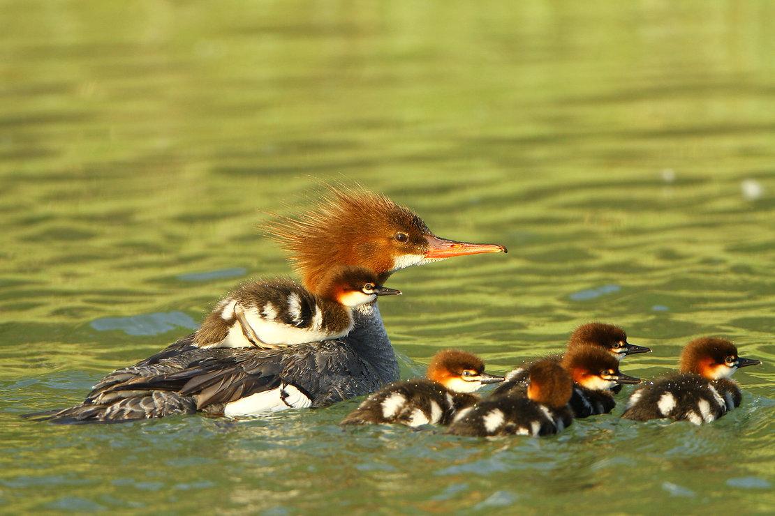 Common Merganser Chicks