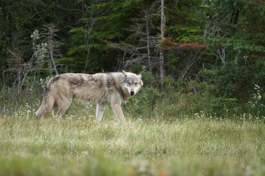 Wolf in Jasper National Park.