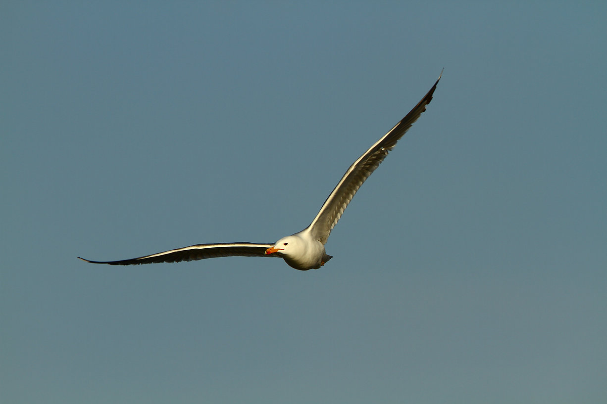Caliornia Gull
