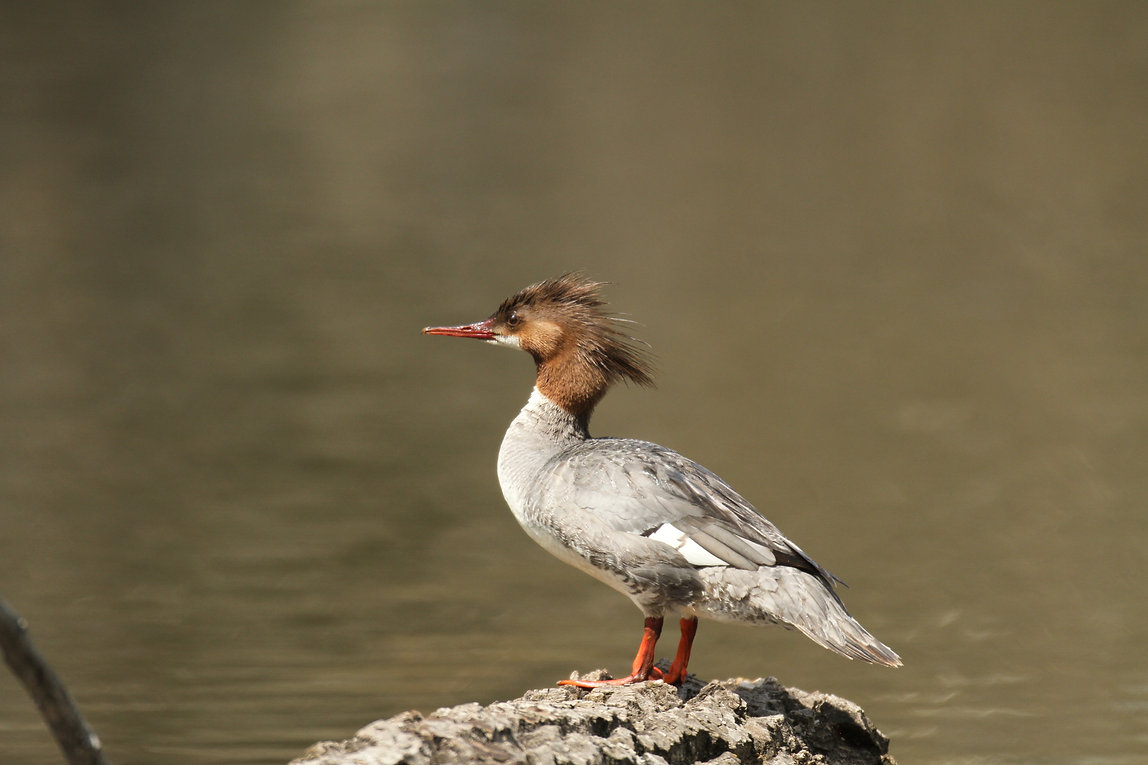 Common Merganser Lady
