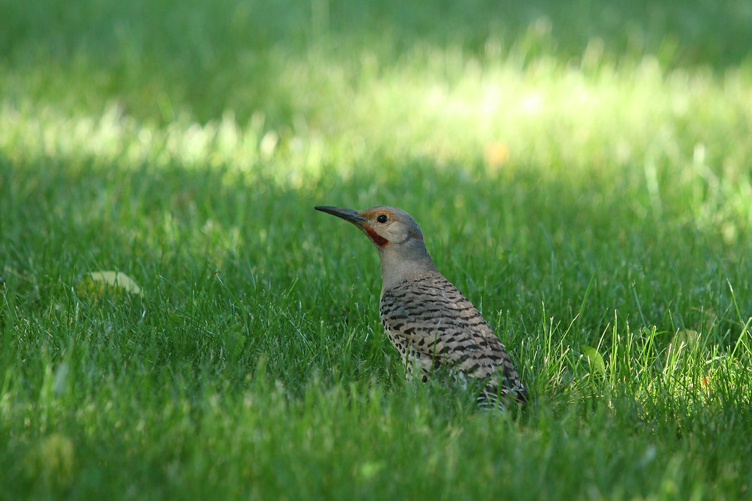 Northern Flicker on the grass