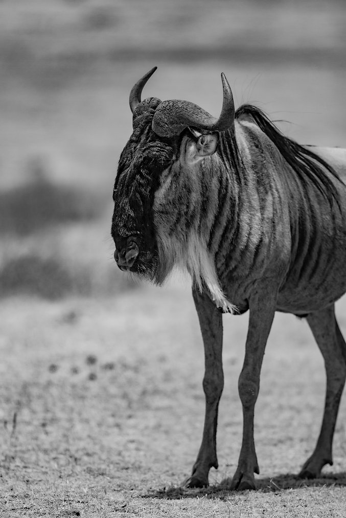 Wildebeast, having survived he Mara