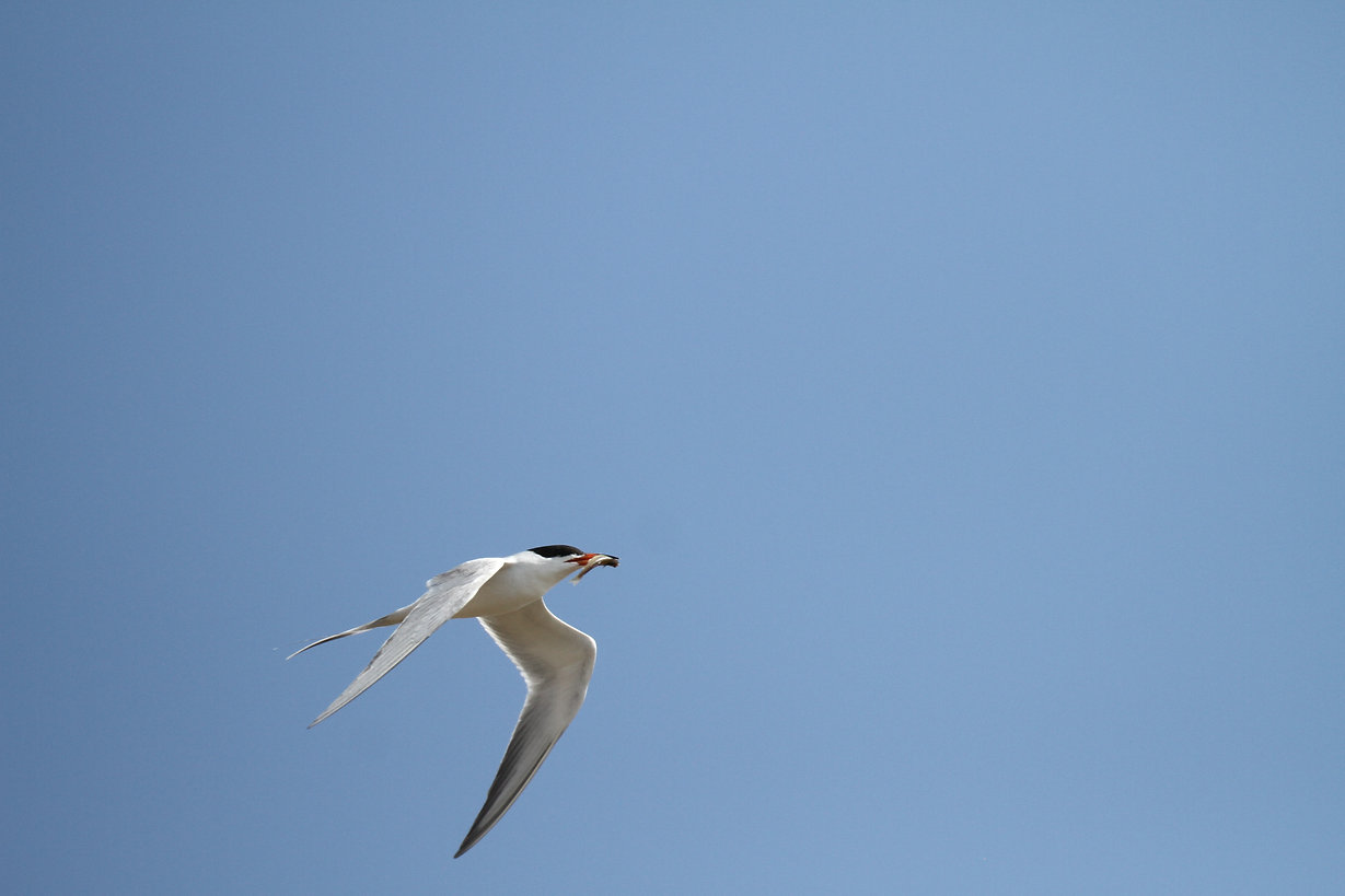 Common Tern & Fish