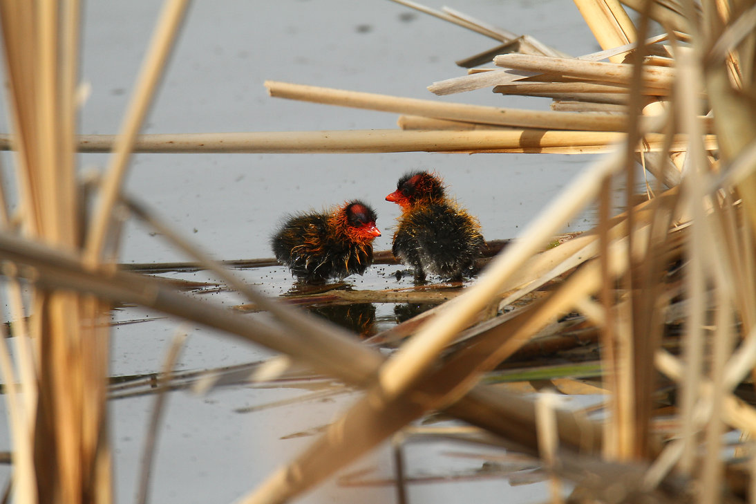 American Coot Babies