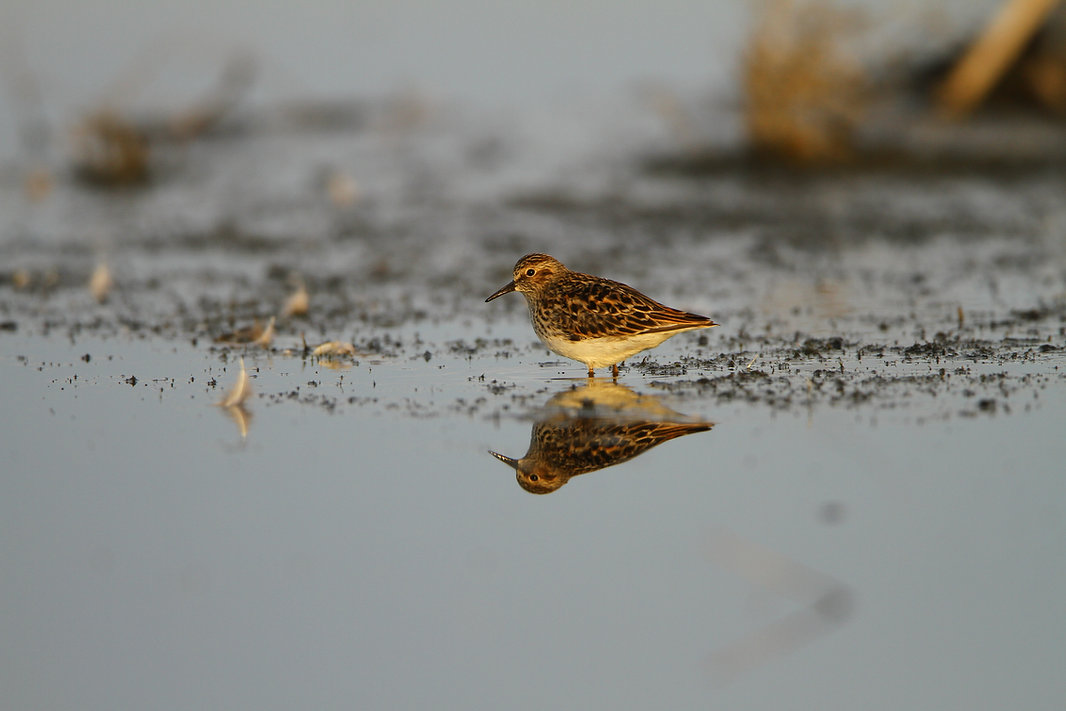 Semi-palmated Sandpiper