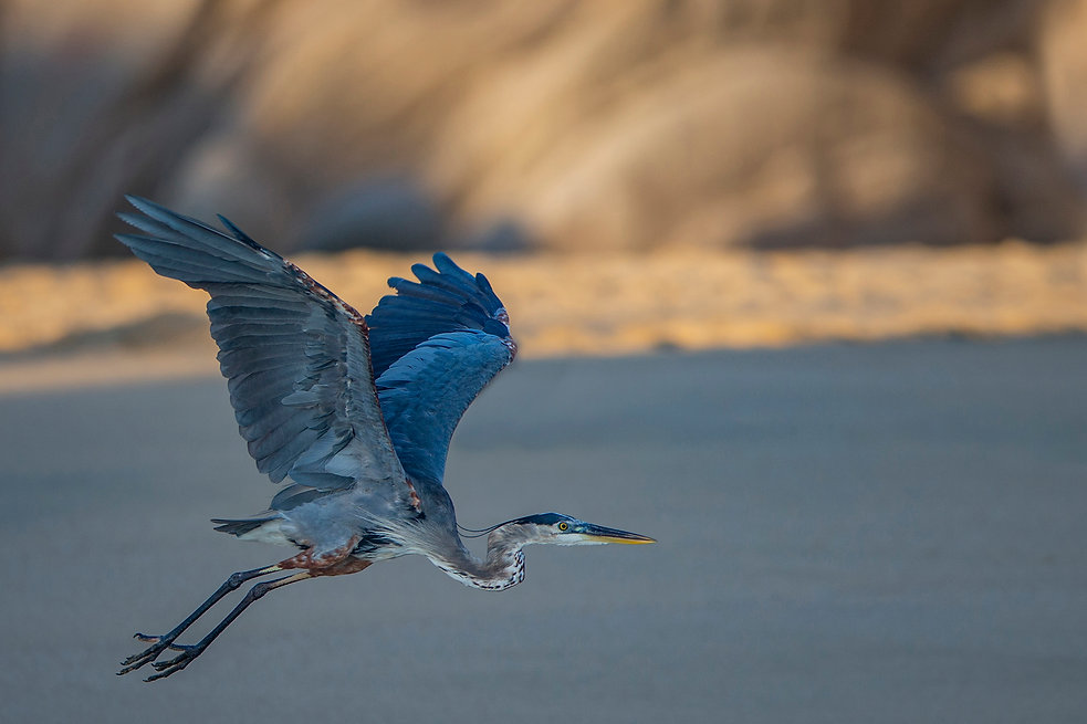 Great Blue Heron Over Beach