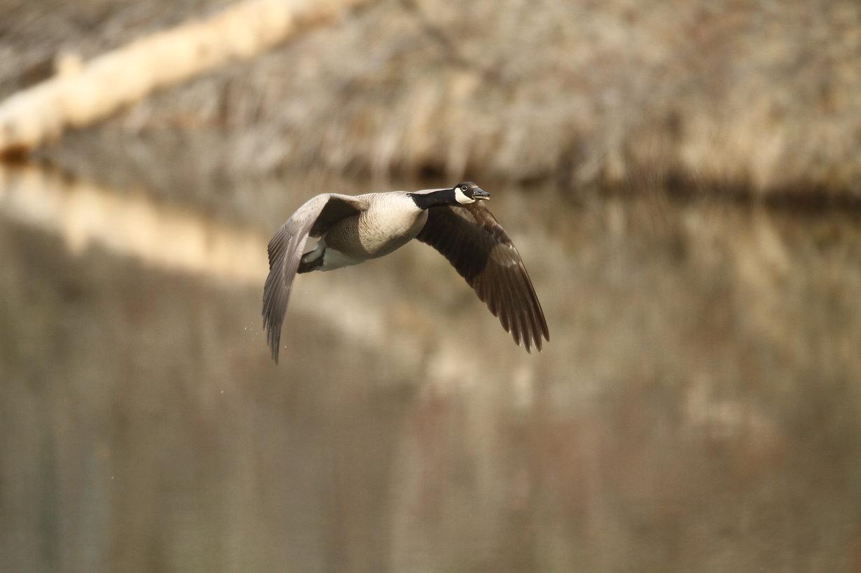 Canada Goose Flight