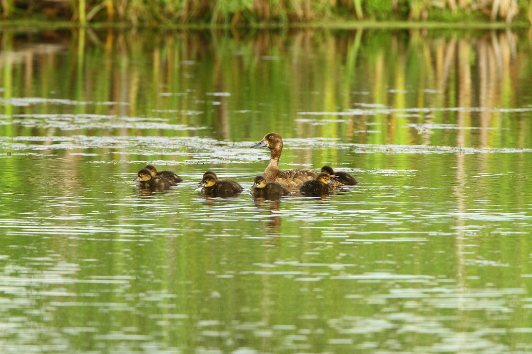 Redhead Duck Babies