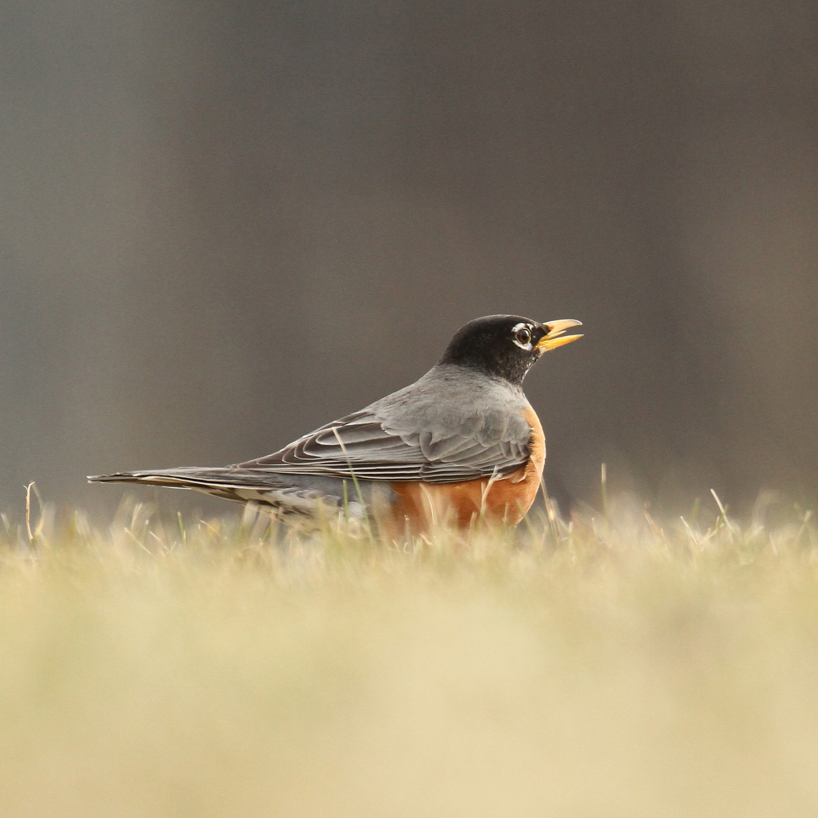 Robin on the grass