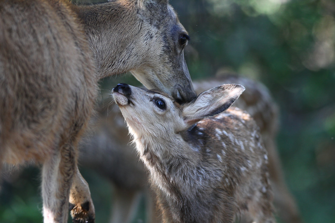 Deer and Mom
