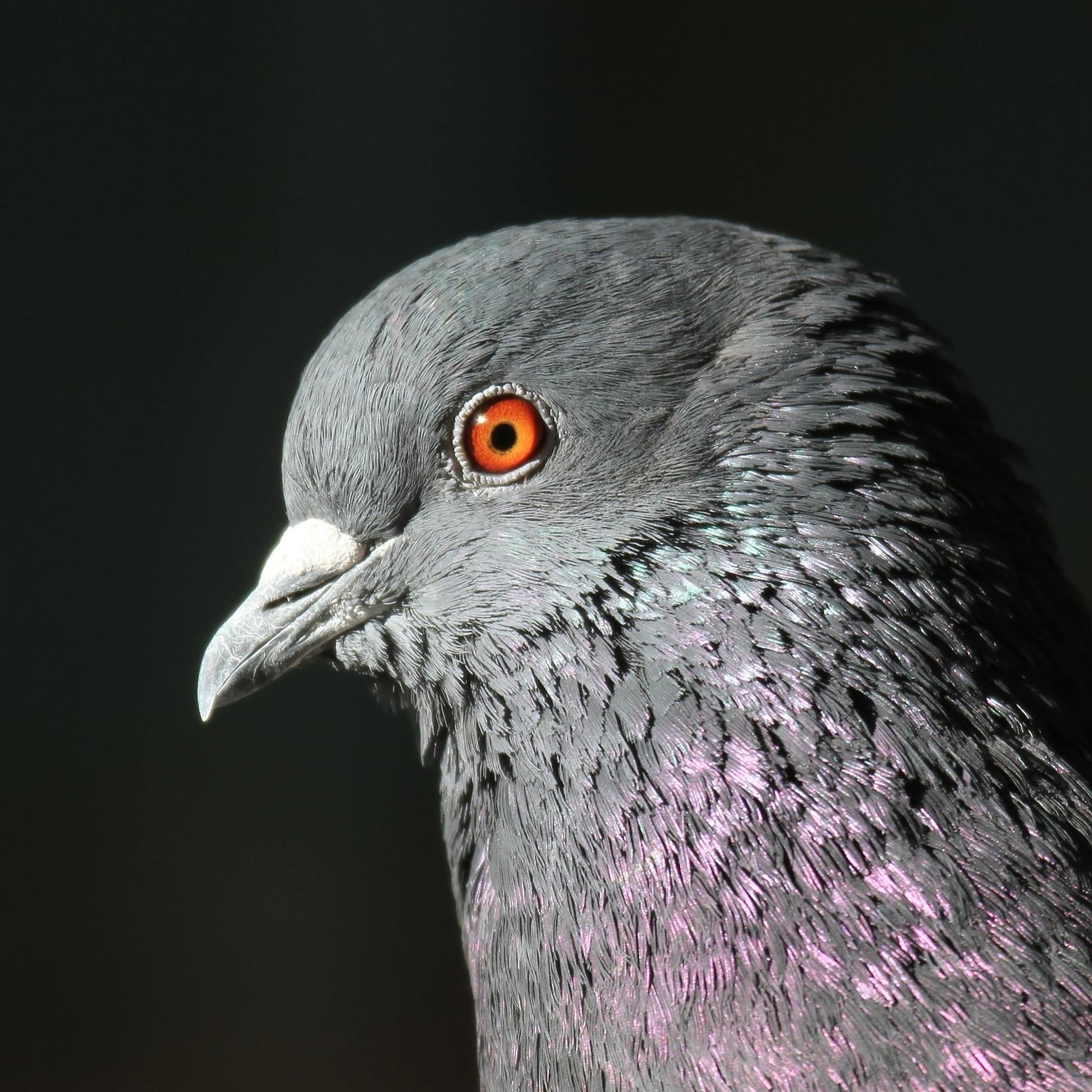 Pigeon Up Close