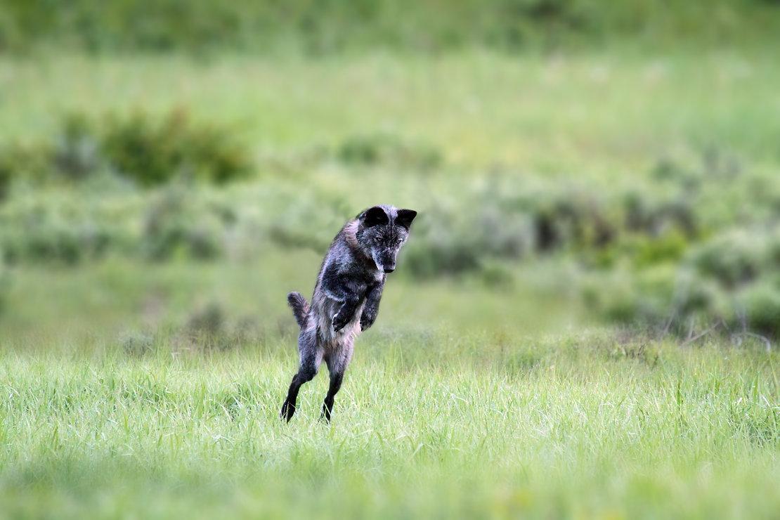 Wolf Mom, Hunting
