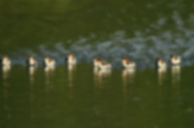 Baby Mergansers Racing