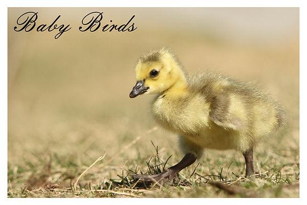 x baby birds.jpg
