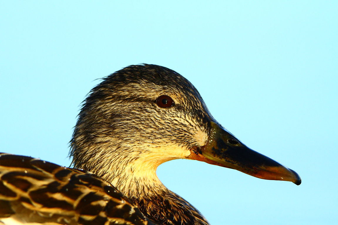 Mallard Lady Closeup