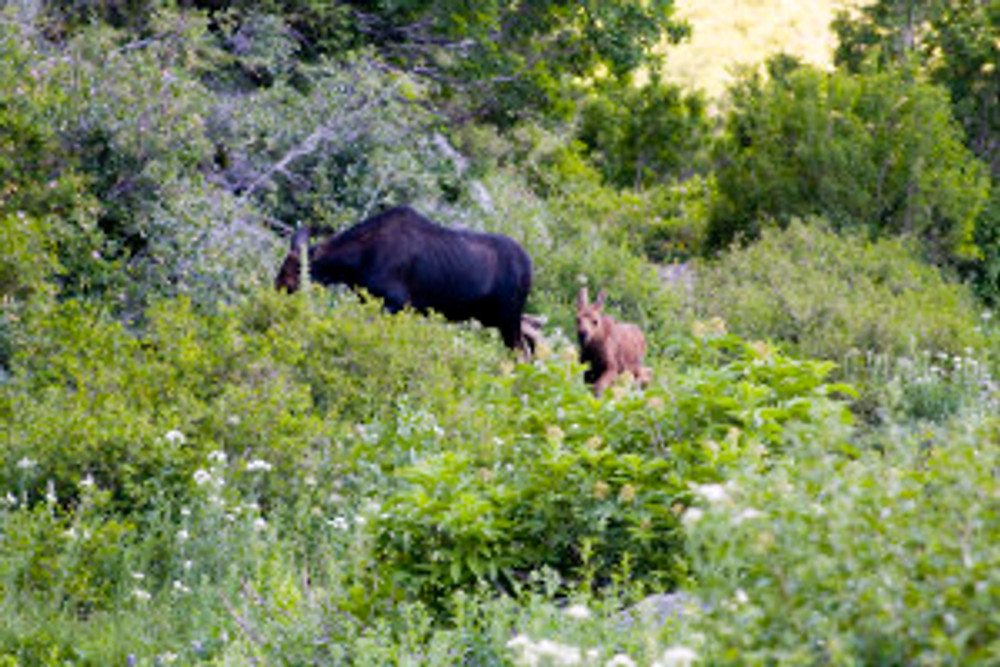 A Moose cow and calf on Timpanogos