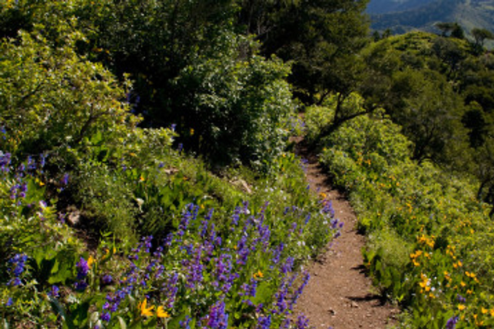 Wildflowers along the Church Fork trail in Millcreek Canyon