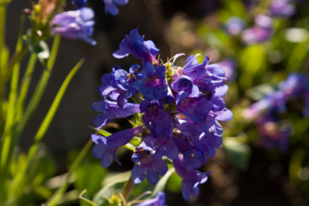 Wild Flowers in mid may along the Church Fork Trail in Millcreek Canyon