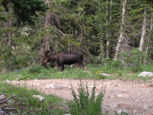 Bull moose walking across the trail near Cecret Lake