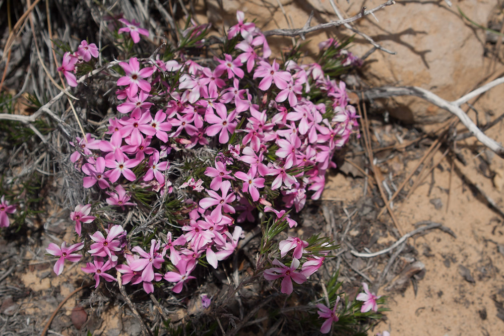 Wildflowers abound on the Pa'rus trail in Zion National Park