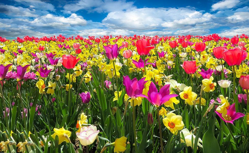 tulips-1197602_1920.jpg