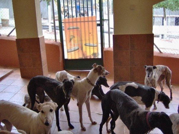 Een groep greyhounds in Spanje