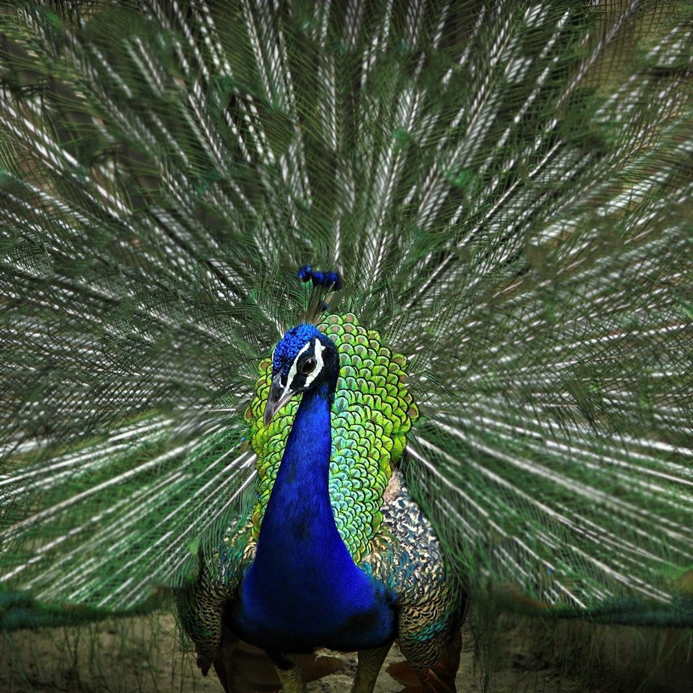 A peacock without eyespots on its tail