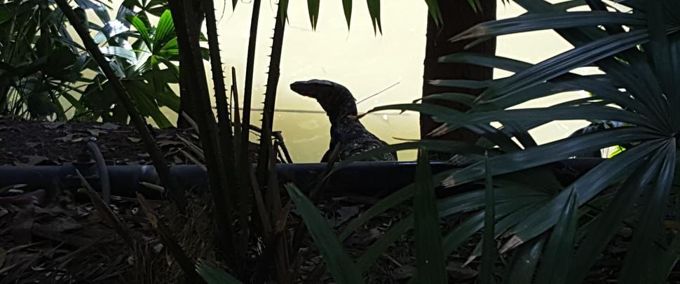 Monitor lizard...keeping an eye on me