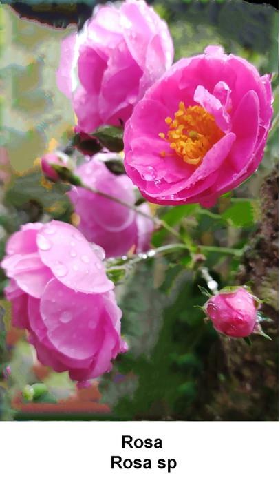 Rosa 2.jpg