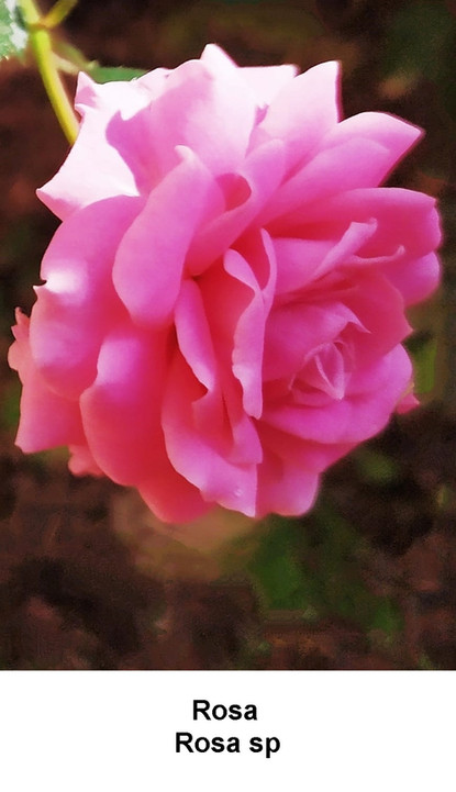 Rosa 1.jpg