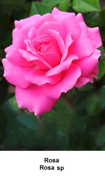 Rosa.jpeg