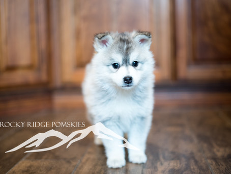 Signs of Pomsky Breeding Scams