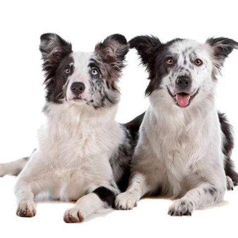 Střední pes od: